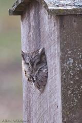Eastern Screech-Owl (Rutland County Audubon) Tags: ferrisburgh owl easternscreechowl 2017 winter vermont winterregularsrarities rutlandcountyaudubon addisoncounty