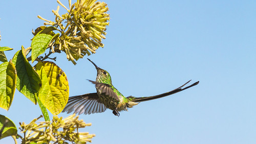 Colibrí - Hummingbird