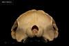 skull back (JRochester) Tags: rissos dolphin grampus griseus skull nmsz1992622