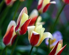 Tulipa Clusiana 2010 (hz536n/George Thomas) Tags: 2010 canon5d ef300mmf4lisusm stillwater spring copyright cs6 oklahoma nature tulip tulipa clusiana flora flower