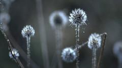 Winter Blues (ursulamller900) Tags: pentacon28100 seeds droplets bokeh