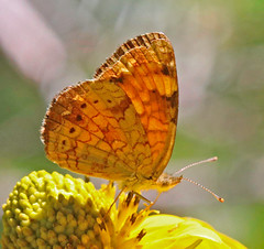 CAD0002200a (jerryoldenettel) Tags: 2016 carlsbadcavernsnationalpark eddyco nm nymphalidae nymphalinae oteroco pearlcrescent phyciodes phyciodestheros telephonecanyon butterfly crescent insect
