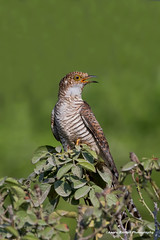 Common Cuckoo (Asaru Kariyil Photography) Tags: qatar birdsofqatar qatarbirds cuckoo green arabianbirds bird nikon nikond500 d500 natural nature
