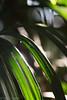 Die Morgensonne wird vom Blatt einer Steckenpalme reflektiert. (izoerkler) Tags: bokeh schärfentiefe ricoh nature kmount outdoor natur depthoffield makro pentax blumenundpflanzen draussen pentaxk1 steckenpalme smcpentaxdfamacro100mmf28wr macro closeup palm palmtree green grün reflektion reflection morningsun