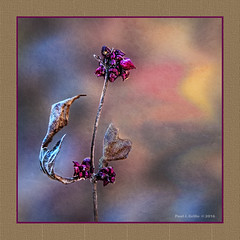 End of Bloom   ...looking forward to a New Year! (jackalope22) Tags: flower bloom weed new year