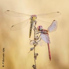 The mountain's queen / La reina de la montaña (F.Guirado) Tags: 2016 lleida macro sympetrumfonscolombii macrofotografia macrophotography libélula dragonfly wow sony nex6 fe 90mm sonyfe90mm 90mmfe