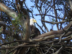 bald eagle at nest-lake casitas (1) (gskipperii) Tags: eagle baldeagle male beautiful america merica raptor giant huge nesting lakecasitas ventura southerncalifornia outdoors wildlife animal bird