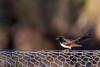 Rhipidure hochequeue (Philippe Lécuyer) Tags: australieoccidentale wa canon7dmarkii bird20iocreplaceoldbirdlist nature oiseau avifauna wildlife bird williewagtail australia rhipiduraleucophrys rhipiduridae