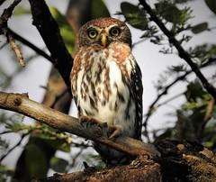 Pearl-Spotted Owlet (Glaucidium perlatum) (mat.breiten) Tags: pearlspotted owlet glaucidium perlatum bird kenya baringo chouette