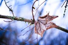 Streaky (bobbybee2000) Tags: nikon nikond700 leave cold winter outdoor nature natur wald laub forest light coldness kälte winterzeit wintertime shades blauerhimmel
