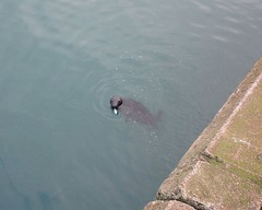 A snacking seal (JulieK (ready for another 365 challenge)) Tags: seal carnivore fish animal kilmorequay harbour water feeding nature canonixus170 117picturesin2017