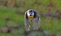 Mésange (laurent KB) Tags: mésange tits oiseau bird