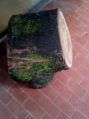 Tora de madeira p/ inoculação de Cogumelo Shitake - Wild (Valter França) Tags: tora reciclagem cogumelos comestíveis artesanal shitake inoculação sementes