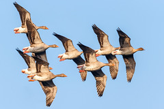 Greylag Squadron (Unintended_Keith) Tags: greylag geese birdsinflight gaggle nature wildlife canon1dx sigma150600mms