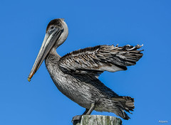 Stand Up And Feel The Breeze (Aliparis) Tags: pelican bird nature naturallight nikon wildlife waterbirds louisiana outdoors feathers
