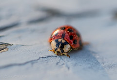 Afternoon with Ladies (Gabriel FW Koch) Tags: insect bug ladybug cute bokeh closeup 100mm wild wildlife canon outdoor outside