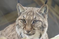 Carpathian Lynx (Gary J Morris) Tags: carpathianlynx exmoor zoo zoology carpathian lynx 11022017 gary morris canon 7d mkii canon7dmkii