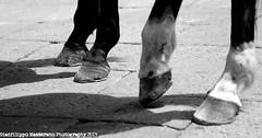 La Cavalcata Sarda 2015 (gianfilippo masserano) Tags: sardegna costume sassari cavalli cavallo 2015 cavalieri cavalcatasarda tradizionali gianfilippomasserano