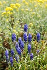 Hyazinthen (Cookieaddict.de) Tags: natur blau blume frhling hyazinthe satt