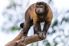 Brown Capuchin at Singapore Zoo (_paVan_) Tags: animals zoo monkey singapore reserve sanctuary capuchin singaporezoo brownbrown animalsandbirds