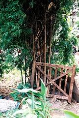 Bamboo Gateway (35mm) (jcbkk1956) Tags: old plants green film cemetery analog 35mm canon thailand wooden gate bangkok chinese bamboo gateway past straits derelict silom 50mmf18 worldtrekker