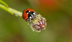 Ladybird (Kyoshi Masamune) Tags: uk flower macro insect scotland edinburgh ladybird ladybug botanicalgardens royalbotanicalgardens macrophotography rbge flowermacro insectmacro kyoshimasamune