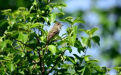 Willow Flycatcher (Empidonax traillii) (Steve Arena) Tags: nikon massachusetts breeding record d750 westboro wma songbird chauncy flycatcher westborough songbirds 2015 empidonax willowflycatcher empidonaxtraillii worcestercounty wifl empic westborowma littlechauncy
