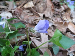NPS Brecksville 5-6-15 022 Great-spurred Violet. Viola selkirkii (fcom4155) Tags: ohio plant native society northeastern npsbrecksville5615 nativeplantsocietyofnortheasternohio