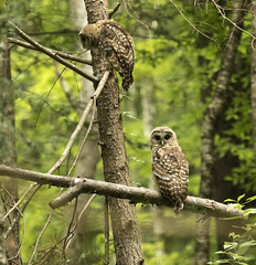 Barred Owls (MiriamPoling) Tags: mountains tn owl smoky townsend barred 2015