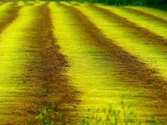 Flax roads (Ker Kaya) Tags: lin flax field champ roads kerkaya fz200 yellow green colors lines linen perspective fdekerkaya ker kaya artist photography dmcfz200 kerkayaphotography