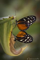 'The Doris' Butterfly (J. van de Pas) Tags: holland netherlands animal butterfly insect zoo rotterdam blijdorp nederland doris vlinder dierentuin zuidholland viridis dorislongwing onderwerpen heliconiusdoris laparus thedoris laparusdoris
