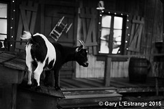 Goat at the Hatfield and Roy house Pigeon ForgeTennessee (garylestrangephotography) Tags: door vacation blackandwhite usa white house holiday black window roy animal pine canon outside eos grey mono grove outdoor tennessee country barrel goat entertainment porch shutter hatfield pigeonforge garylestrangephotography hatfieldandroy