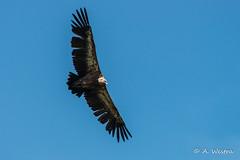 griffon vulture (a3aanw) Tags: bird frankrijk birdofprey gypsfulvus roofvogel valegier pyrnesatlantiques zomervakantie2015