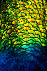 Feathered (Rich Morrison) Tags: bird feathers feather first australia peacock basin tasmania gorge launceston cataract
