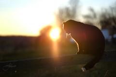 Winter sunset cat (Tobegraphy) Tags: light sunset sun animal wildlife dof bokeh bokehlicious warm winter pet fujifilm fuji xt2