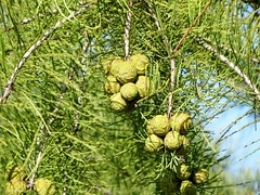 Cupressaceae Family --  a cypress tree 5236 (Tangled Bank) Tags: high springs florida america american rural south dixie small town downtown southern business district cupressaceae family cypress tree 5236 plant flora botany