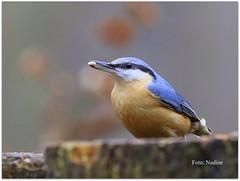 Great Find for this Nuthatch… (Nadine V.) Tags: boomklever sittaeuropaea nuthatch clinge nederland zeeland standvogel zangvogel songbird sedentarybird vogel oiseau