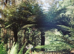 Two tree ferns (Matthew Paul Argall) Tags: treefern ferntree fixedfocus focusfree plasticlens cheaplens fern ferns plant plants mountdandenong yarraranges concord110ceft 110 110film lomographyfilm subminiaturefilm nophotoshophere untouchedandunedited unlimitedphotos green crapcamera