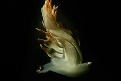 Thetys Fimbra in volo libero. Thetys Fimbra in free fly. (omar.flumignan) Tags: nudibranco gasteropode thetisfimbra seaslug bay baia sistiana castelreggio fvg friuliveneziagiulia italia canon g7xmk2 fantasea fg7xmk2 ikelite ds51 underwaterphoto fotosub allnaturesparadise ngc