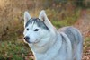 Kida (Linzse) Tags: siberian husky huskies huskie dog pup puppy puppies pups dirty dig digging forest leaf leaves outside fall denmark danish grass green kida kala
