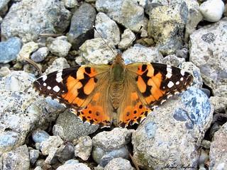 Butterfly 1108