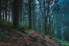 The Warren (parry101) Tags: uk landscape light sun nikond3200 d3200 nikon nature caerphilly south wales outdoor morning fog foggy mist misty wood woods forest tree trees warren woodland woodlands serene