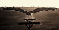 Plan de vuelo (javiruiz) Tags: pajaro vuelo animales pentax ala blancoynegro panoramica volar 2005 forugh farrojzad