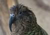 Darf ich mal deine Kamera untersuchen? (wpt1967) Tags: auge eos60d kea nestornotabilis vogel walsrode weltvogelparkwalsrode bird canon100mm eye wpt1967