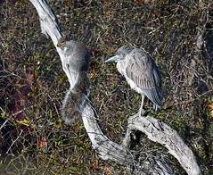 """The Odd Couple"" (KoolPix) Tags: cammanspondmerrickny squirrel yellowcrownedheron heron bird branch heronandsquirrel beak feathers koolpix jaykoolpix naturephotography jay nature naturephotos naturephotographer animalphotographer wcswebsite nationalgeographic fantasticnature amazingnature wonderfulbirdphotos animal mothernature amazingwildlifephotos fantasticnaturephotos sleeping sleepy oddcouple odd strange strangeanimalcouple"
