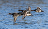 Ring-necked Drakes fly across the lake (danielusescanon) Tags: lakeartemesia bird drake ringneckedduck bif flying aythyacollaris anseriformes anatidae five wild lake birdperfect