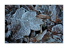 Frosty leaves (paulinecurrey) Tags: frost cold brown leaves leaf winter macro art creative decay decaying white pattern textures nature natural