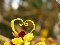 Zaubernuß-Herz (Jörg Paul Kaspari) Tags: trier palastgarten winter januar zaubernus hamamelis japonica hamamelisjaponica entrollen petalen gelb yellow winterblüher spiral spiralentfaltung blüte flower fleur zuneigung zaubernusherz herz heart kronblatt kronblätter
