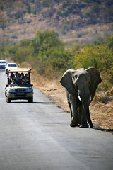 Road Block (crafty1tutu (Ann)) Tags: travel holiday 2016 southafrica africa african animal elephant road roamingfree free wild inthewild pilanesberggamepark pilanesberg crafty1tutu canon5dmkiii ef100400mmf4556lisiiusm anncameron