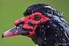 Knobbel eend ..niet zeker van / Belgie (Jul Pitbull) Tags: nikon500mmf40vrii nikond3s eenden japanseeend ganzen vliegendeeenden fuut bakker eend gans